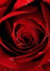Serap Rose