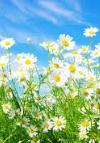 Papatya Çiçeğin