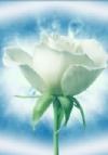 Radiance Rose