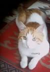 Cillop Kedi